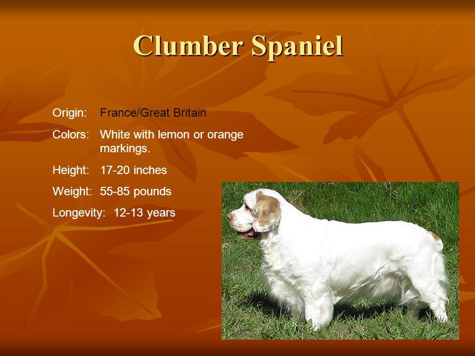 Clumber Spaniel Origin: France/Great Britain