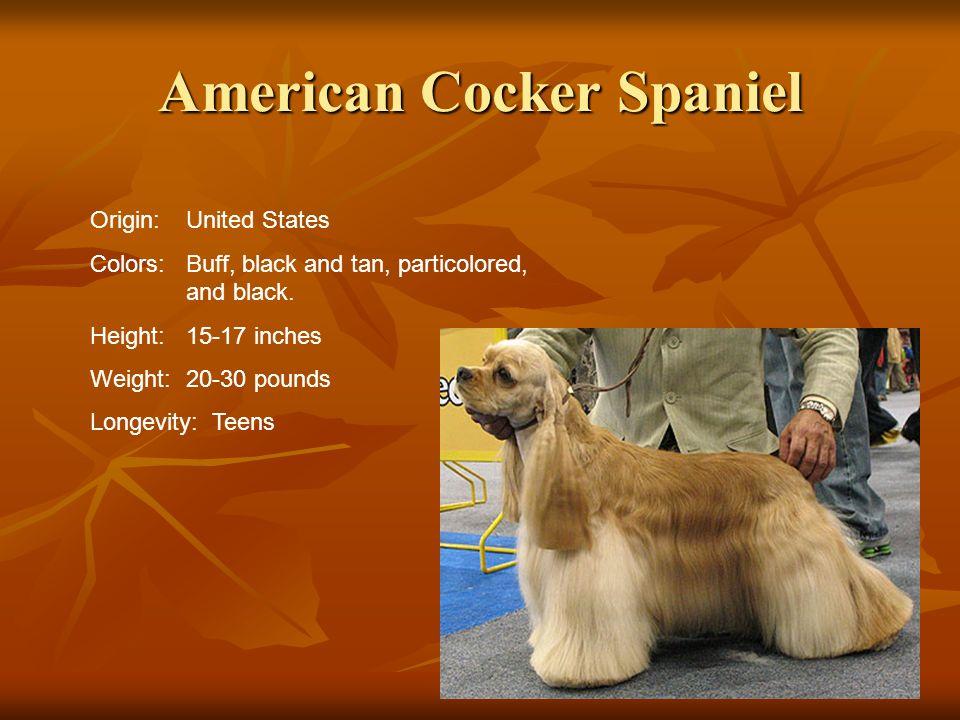 American Cocker Spaniel