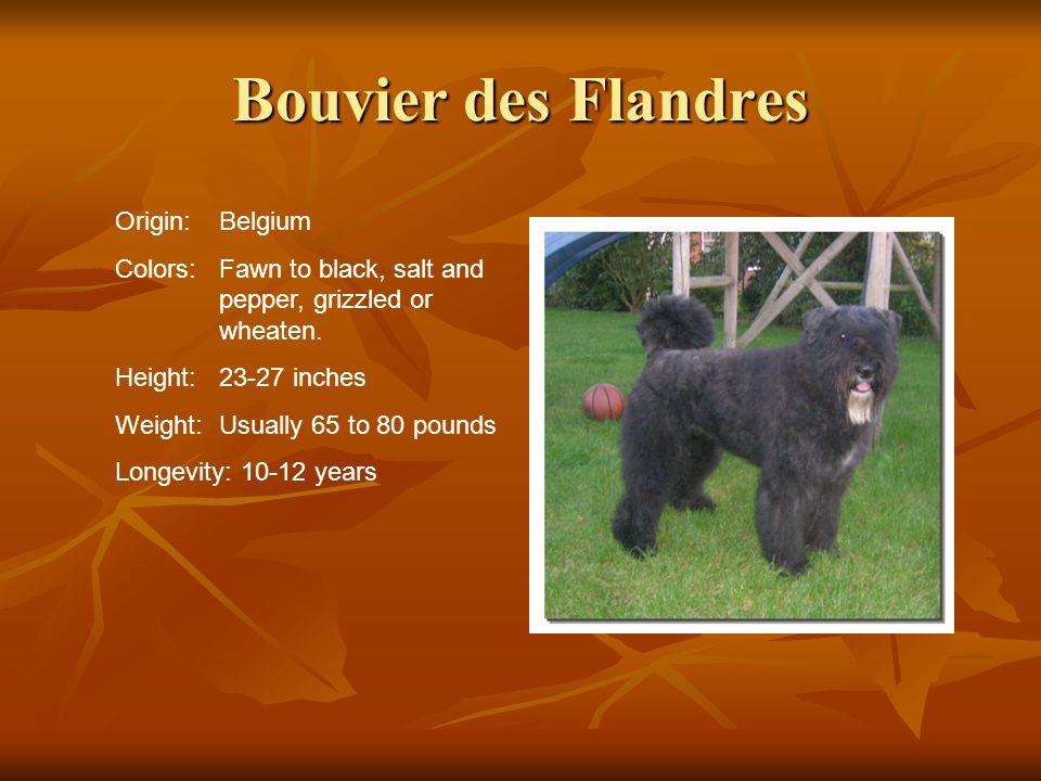 Bouvier des Flandres Origin: Belgium