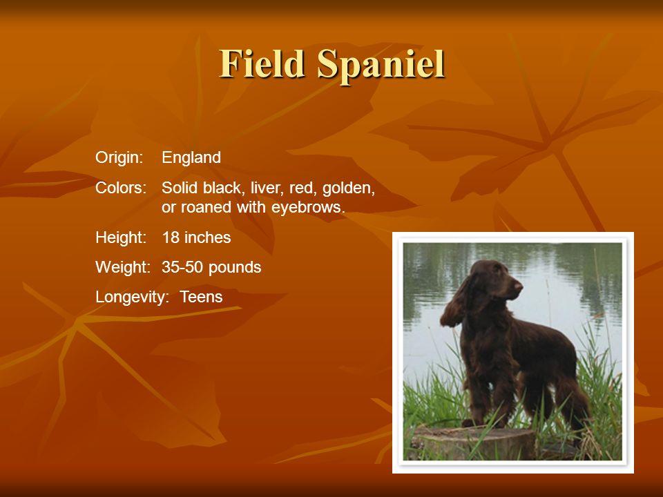 Field Spaniel Origin: England