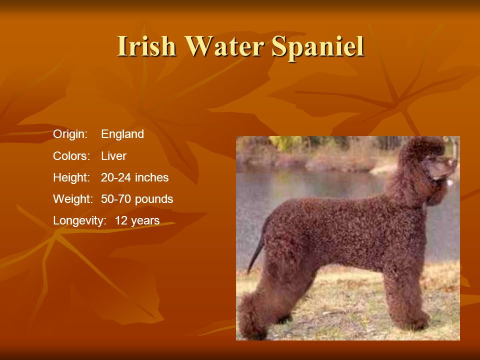 Irish Water Spaniel Origin: England Colors: Liver Height: 20-24 inches