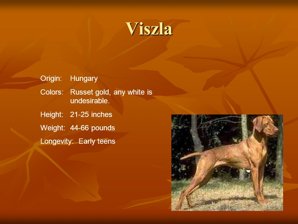 Viszla Origin: Hungary Colors: Russet gold, any white is undesirable.