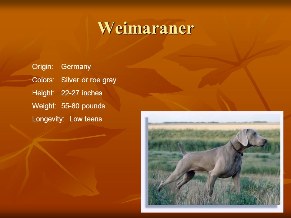 Weimaraner Origin: Germany Colors: Silver or roe gray