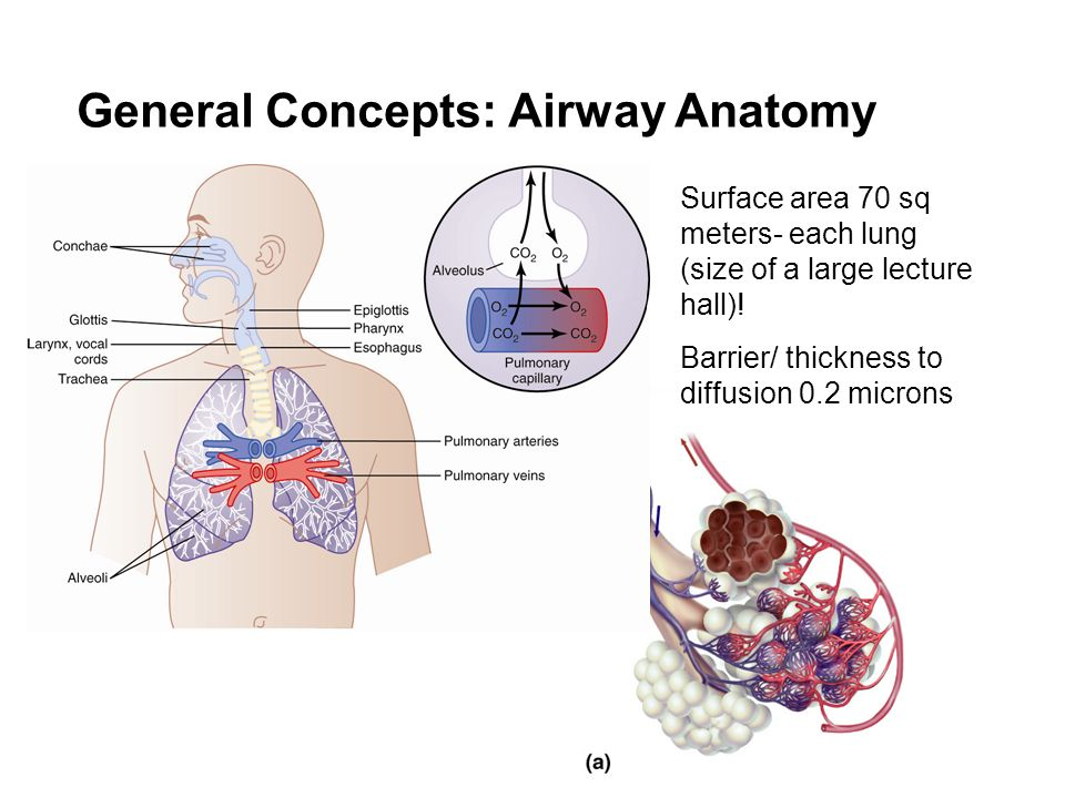 Ausgezeichnet airway anatomy and physiology zeitgenssisch perfect lung airways anatomy frieze human anatomy images ccuart Gallery