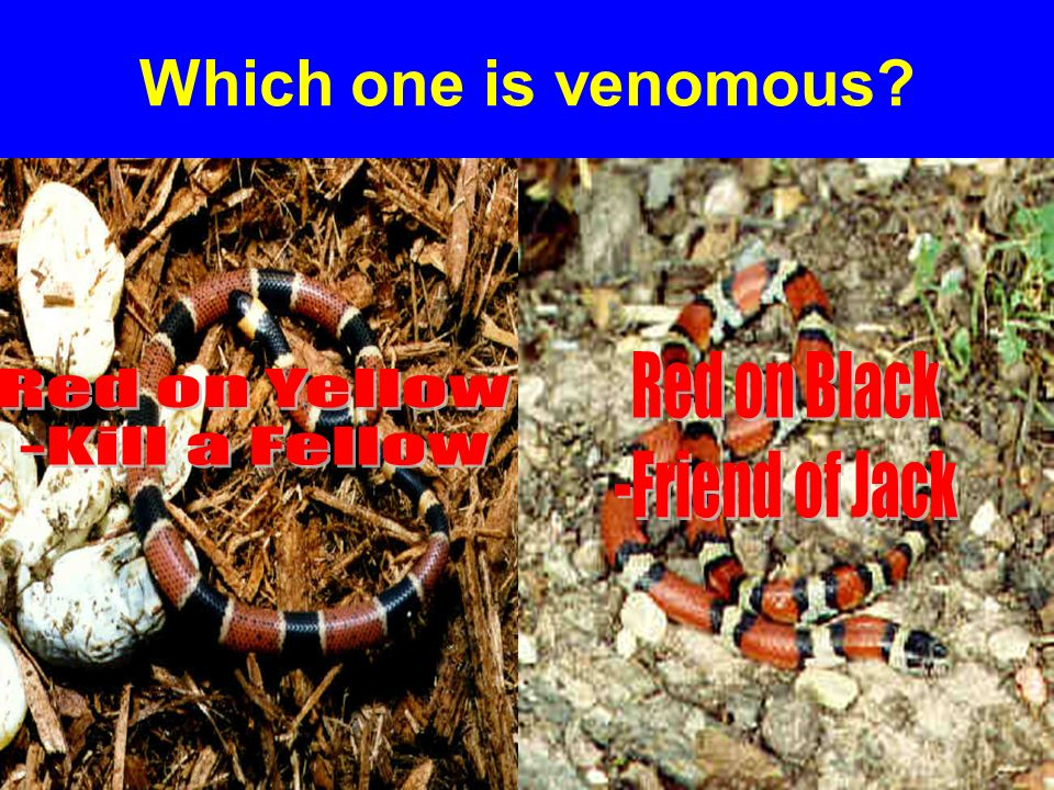 Which one is venomous Red on Black Red on Yellow -Friend of Jack