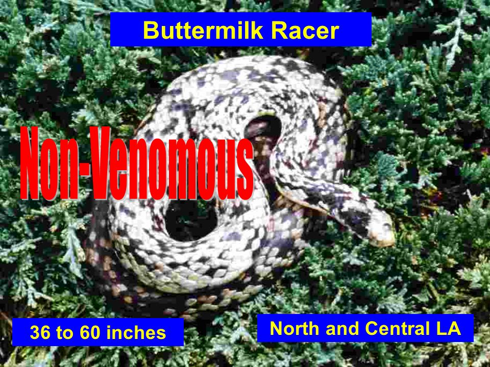 Buttermilk Racer Non-Venomous North and Central LA 36 to 60 inches