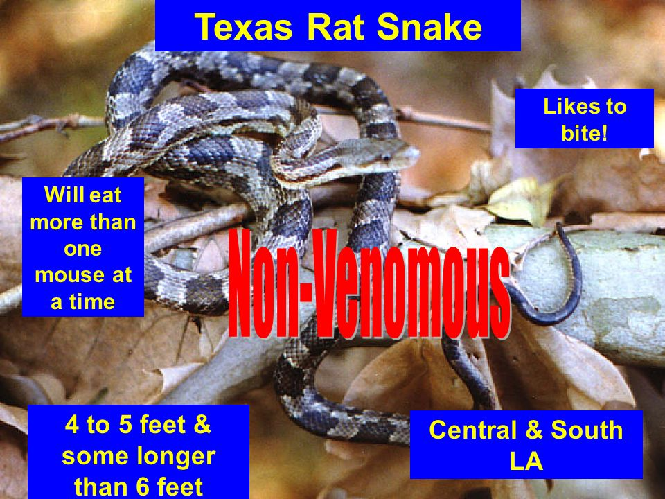 Texas Rat Snake Non-Venomous 4 to 5 feet & some longer than 6 feet