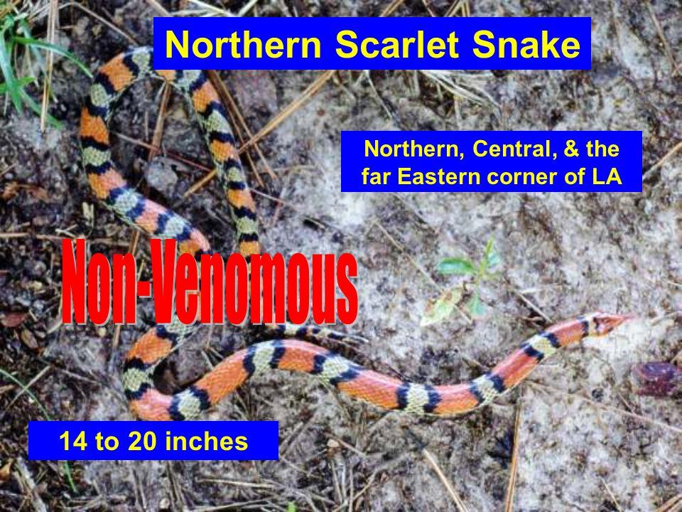 Northern Scarlet Snake