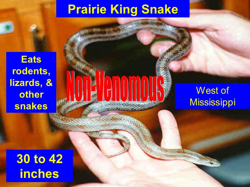 Eats rodents, lizards, & other snakes
