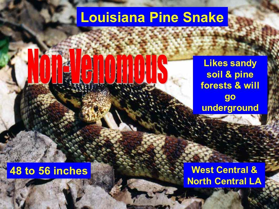 Louisiana Pine Snake Non-Venomous 48 to 56 inches