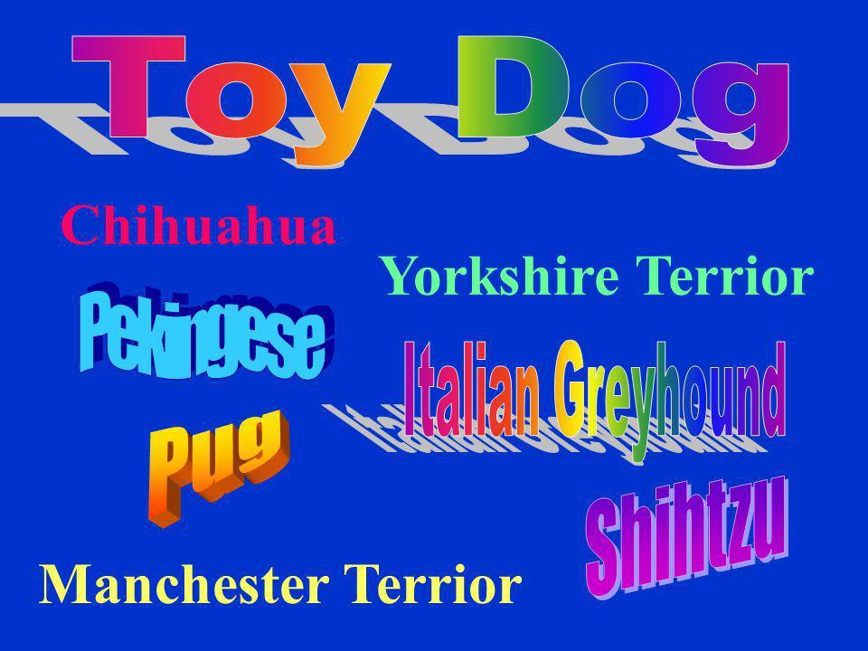 Chihuahua Yorkshire Terrior Manchester Terrior Toy Dog Pekingese Pug