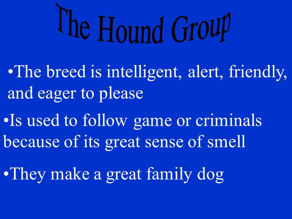 The breed is intelligent, alert, friendly, and eager to please