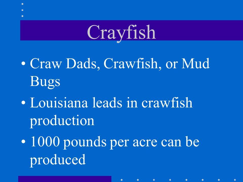 Crayfish Craw Dads, Crawfish, or Mud Bugs