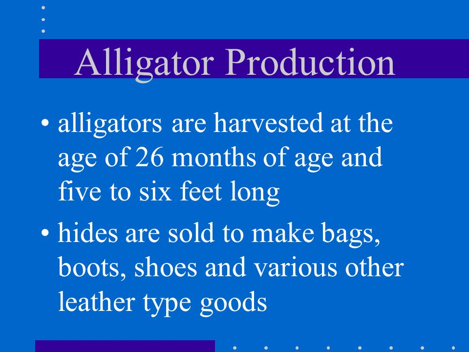Alligator Production alligators are harvested at the age of 26 months of age and five to six feet long.