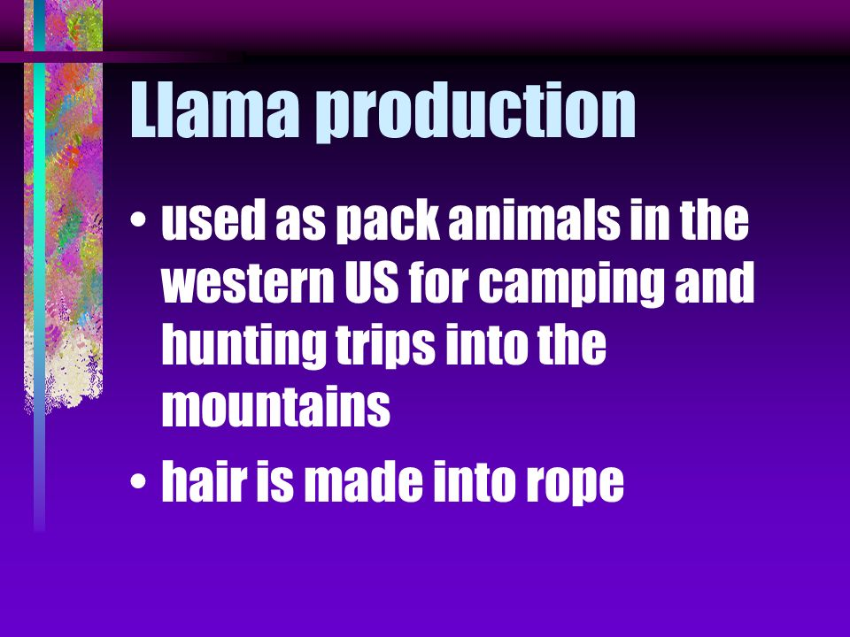 Llama production used as pack animals in the western US for camping and hunting trips into the mountains.