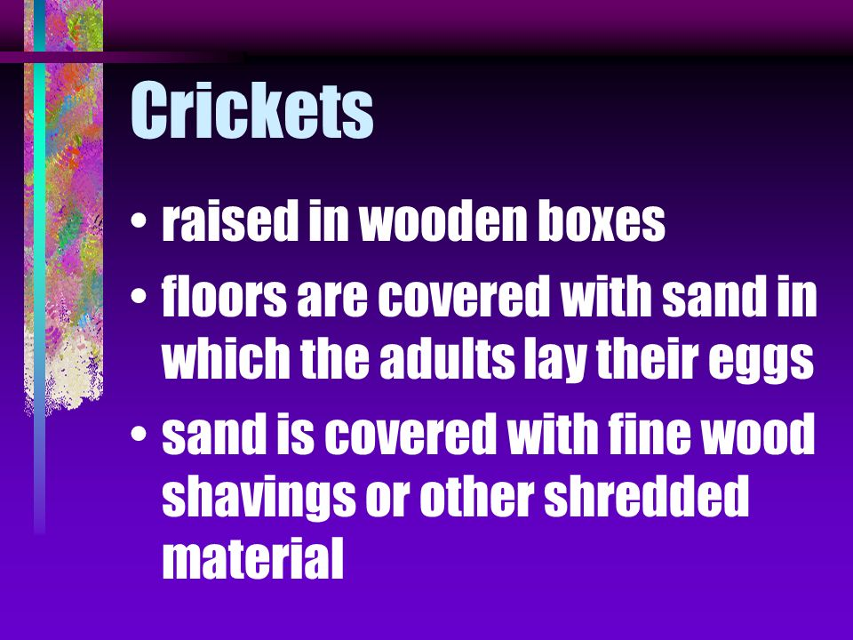 Crickets raised in wooden boxes