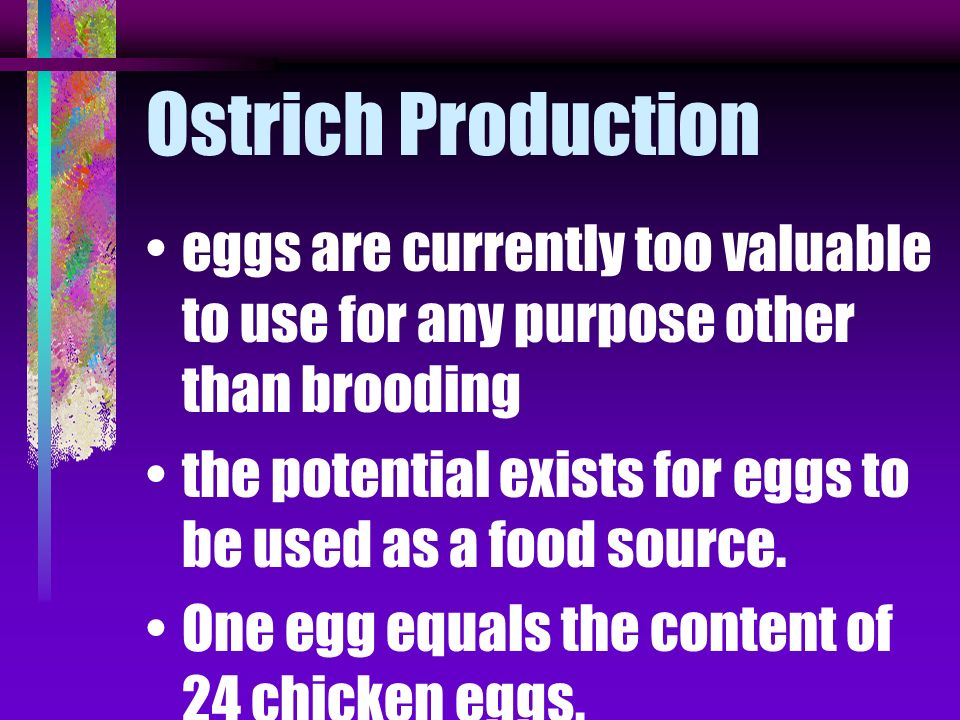 Ostrich Production eggs are currently too valuable to use for any purpose other than brooding.