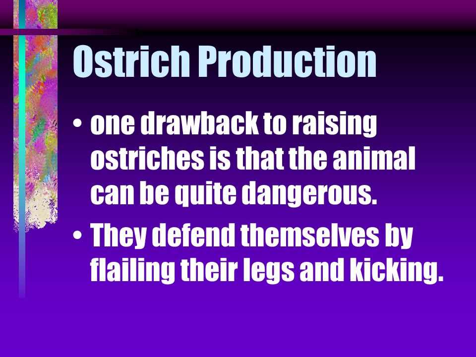 Ostrich Production one drawback to raising ostriches is that the animal can be quite dangerous.