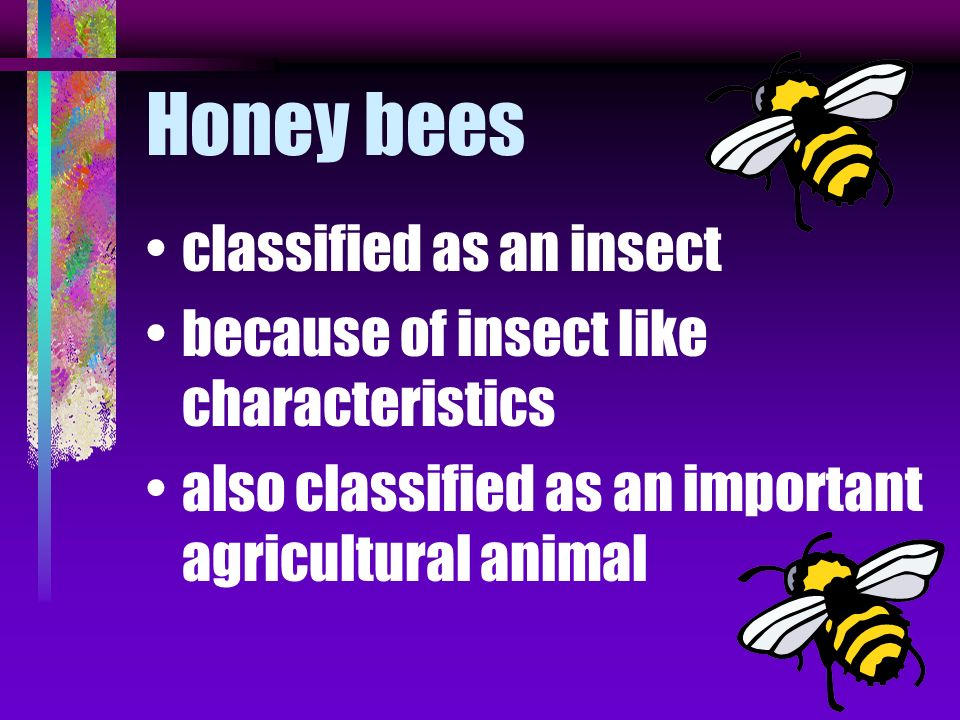 Honey bees classified as an insect