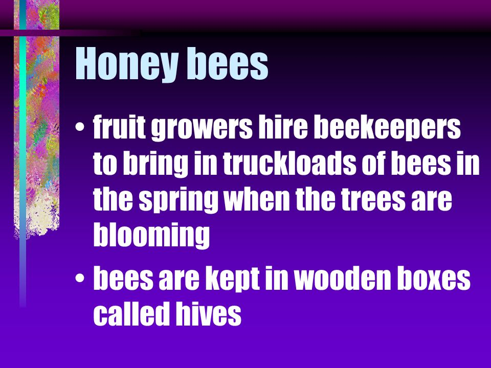 Honey bees fruit growers hire beekeepers to bring in truckloads of bees in the spring when the trees are blooming.