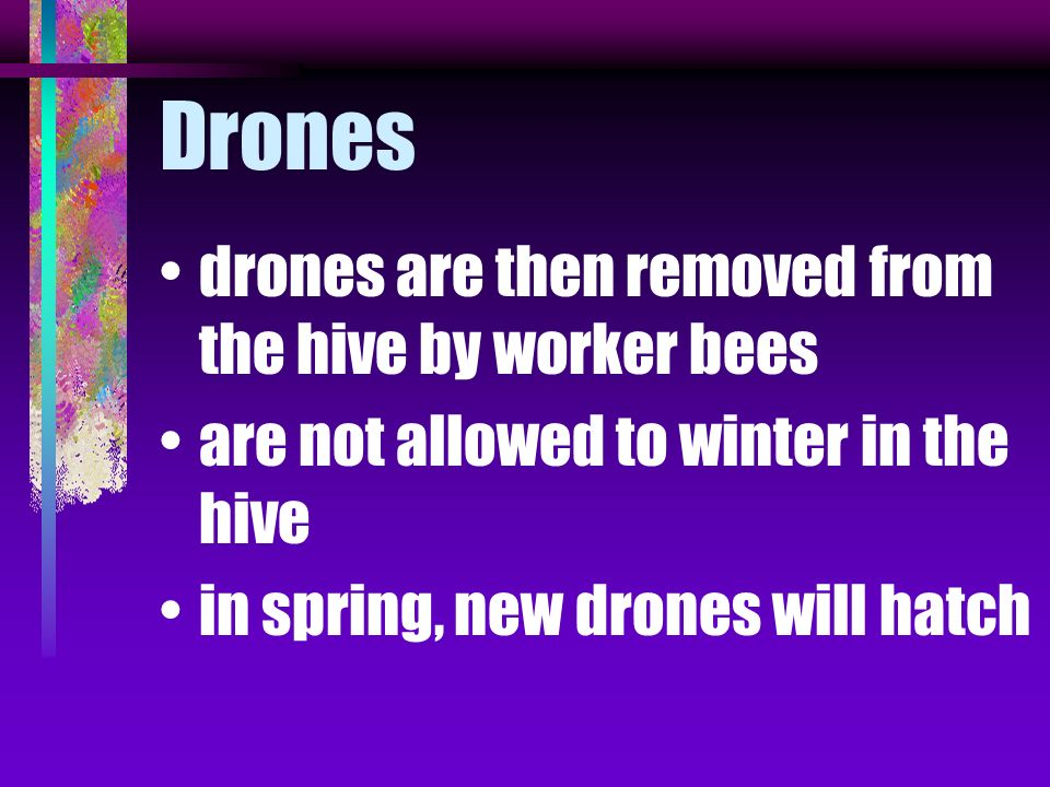 Drones drones are then removed from the hive by worker bees