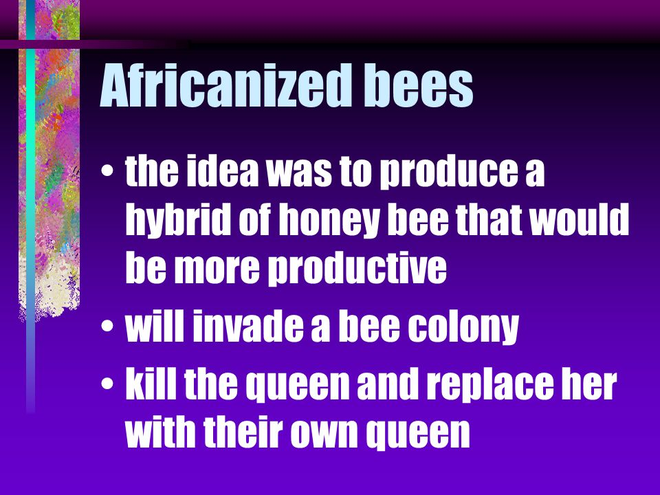 Africanized bees the idea was to produce a hybrid of honey bee that would be more productive. will invade a bee colony.