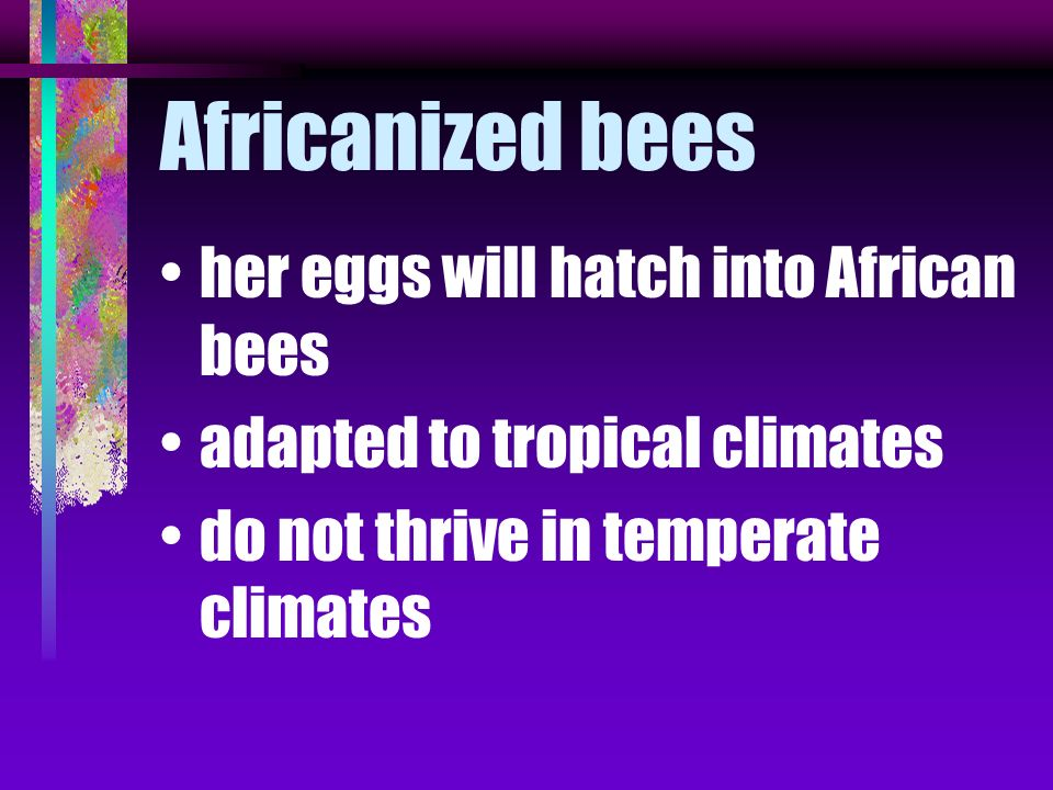 Africanized bees her eggs will hatch into African bees