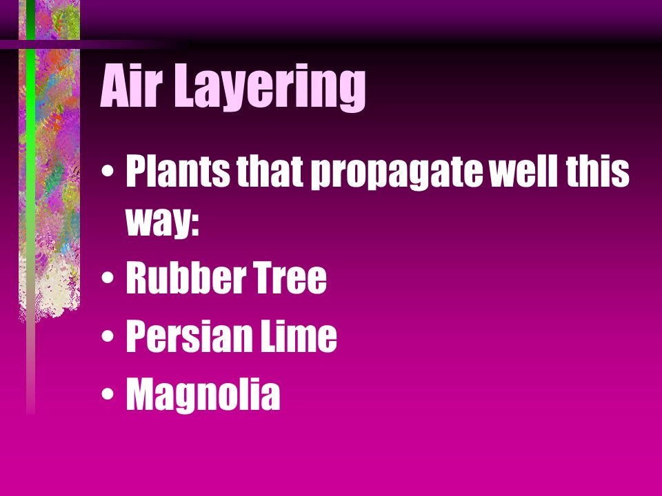 Air Layering Plants that propagate well this way: Rubber Tree