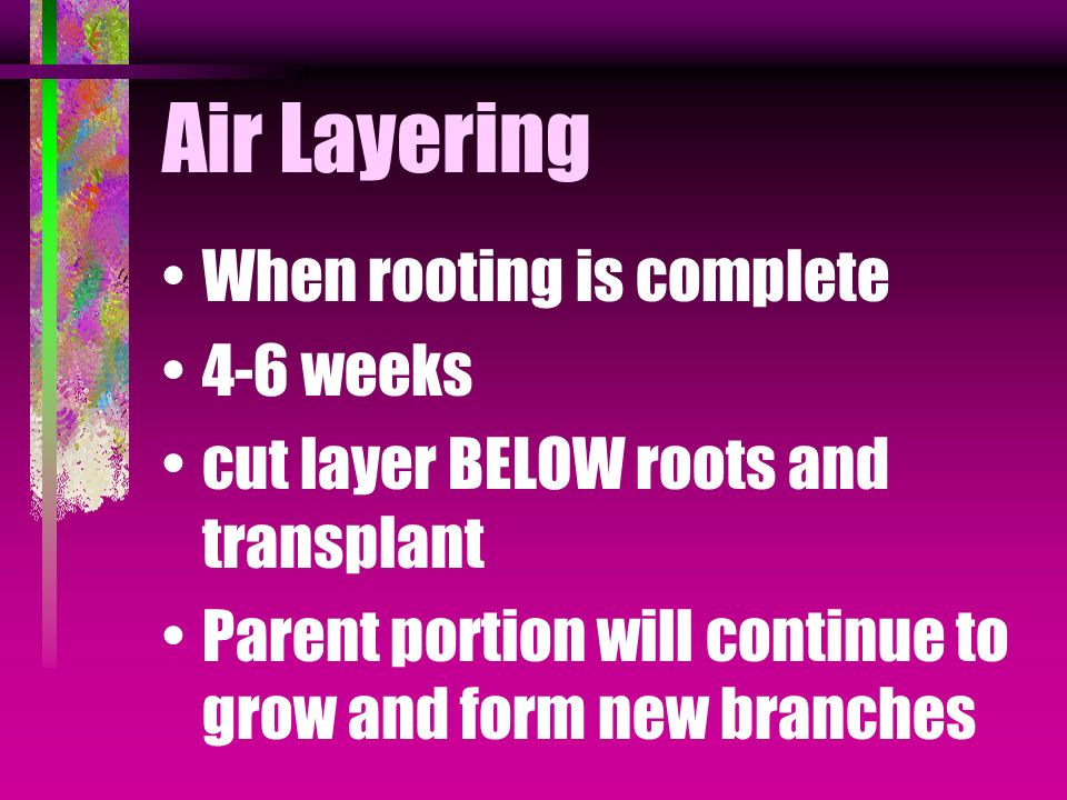 Air Layering When rooting is complete 4-6 weeks