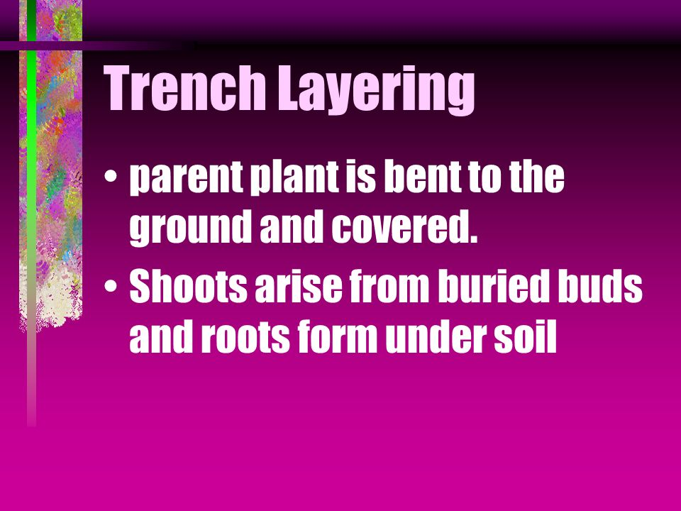 Trench Layering parent plant is bent to the ground and covered.