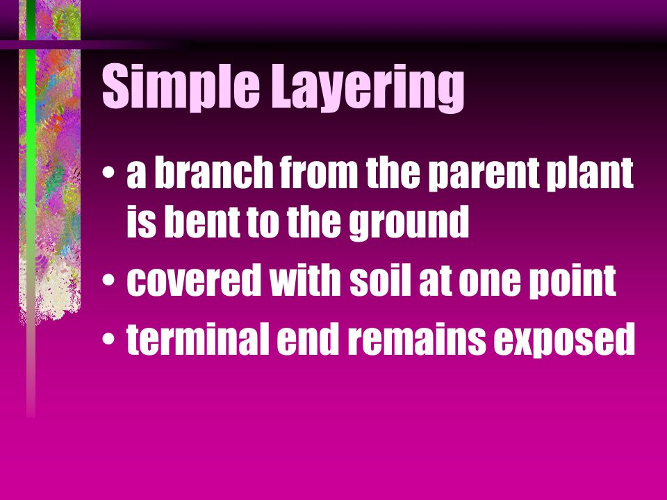 Simple Layering a branch from the parent plant is bent to the ground