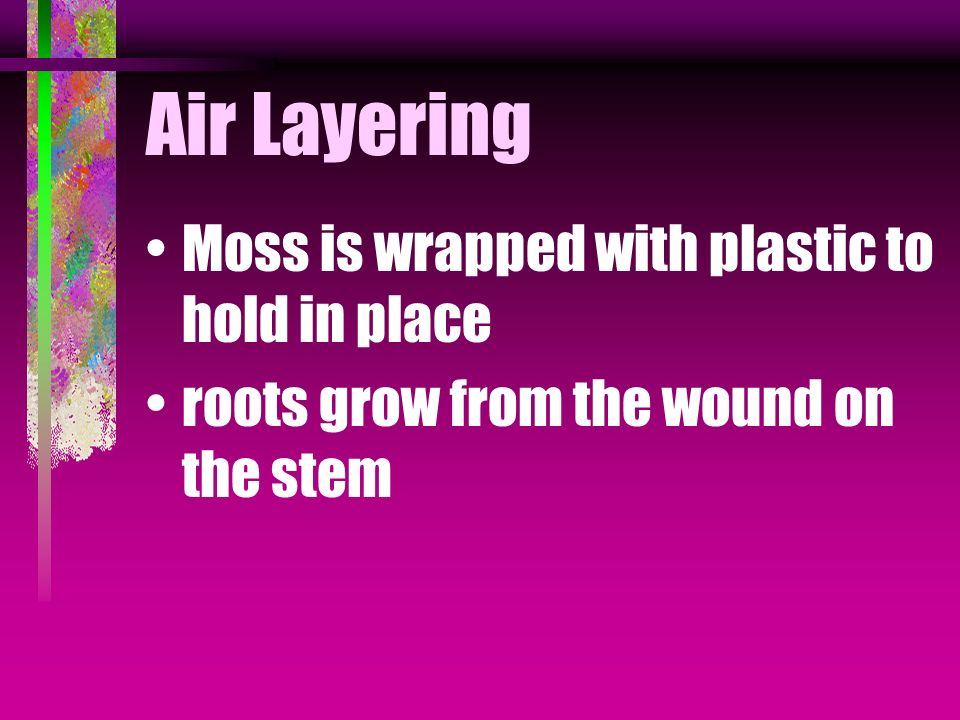 Air Layering Moss is wrapped with plastic to hold in place