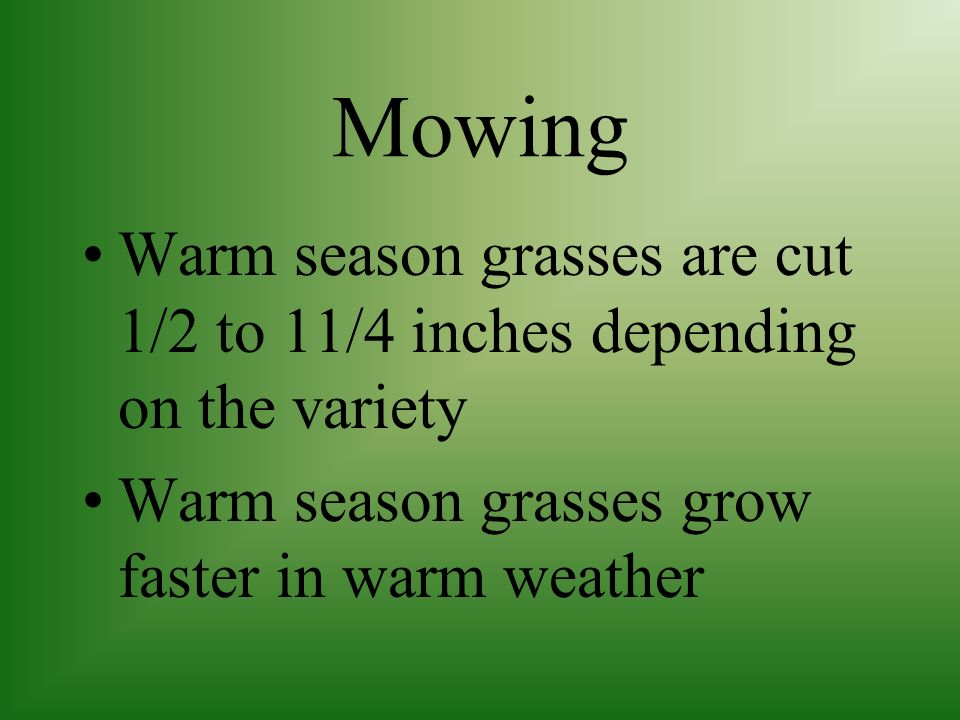 Mowing Warm season grasses are cut 1/2 to 11/4 inches depending on the variety.
