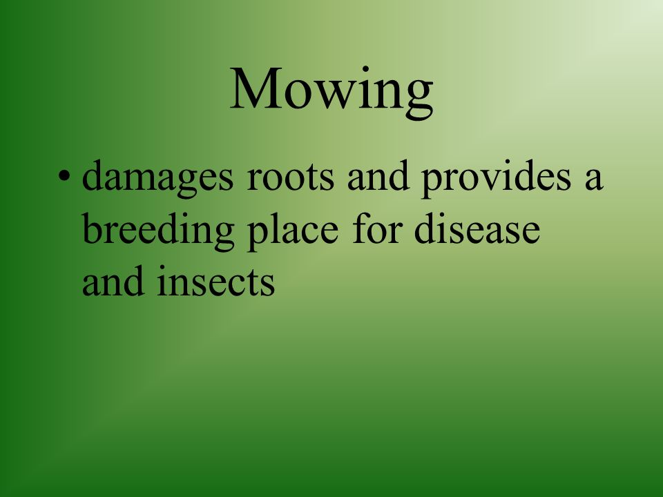 Mowing damages roots and provides a breeding place for disease and insects
