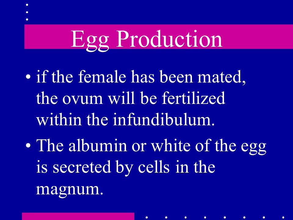 Egg Production if the female has been mated, the ovum will be fertilized within the infundibulum.