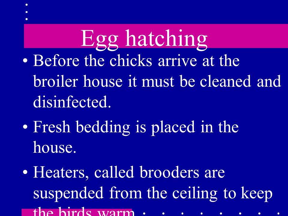 Egg hatching Before the chicks arrive at the broiler house it must be cleaned and disinfected. Fresh bedding is placed in the house.
