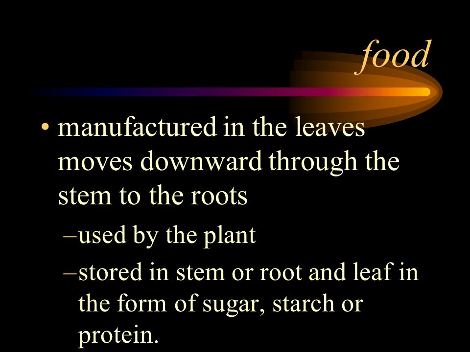 foodmanufactured in the leaves moves downward through the stem to the roots. used by the plant.