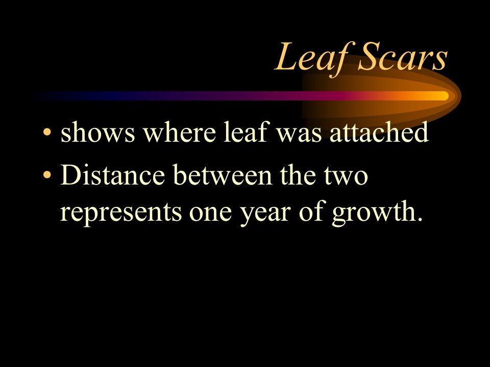 Leaf Scars shows where leaf was attached