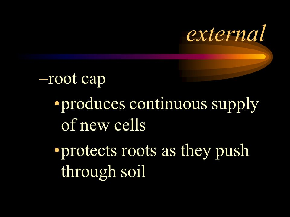 external root cap produces continuous supply of new cells