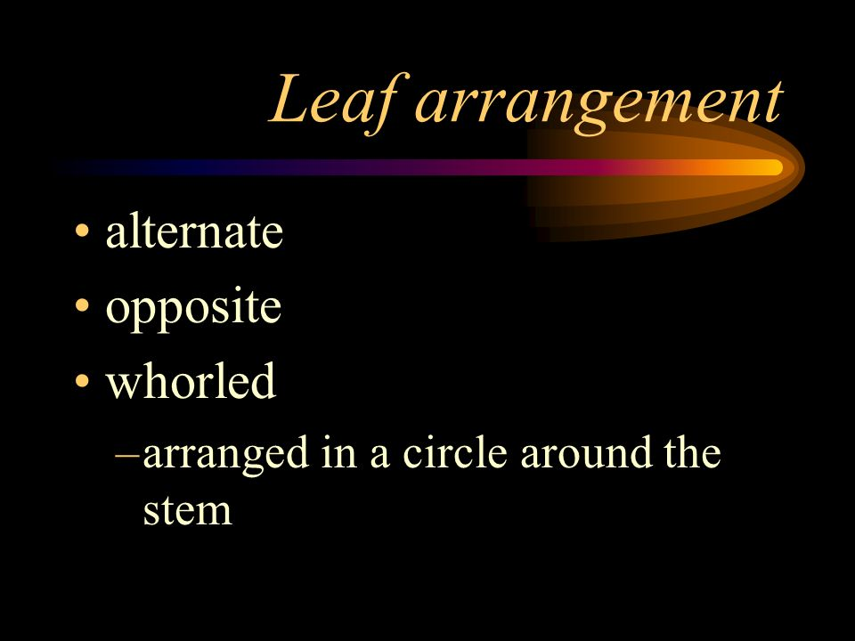 Leaf arrangement alternate opposite whorled