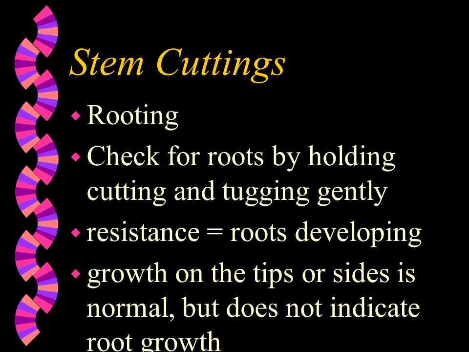 Stem Cuttings Rooting. Check for roots by holding cutting and tugging gently. resistance = roots developing.