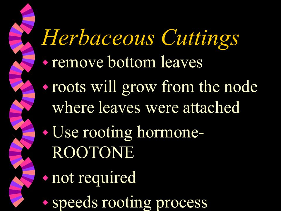 Herbaceous Cuttings remove bottom leaves