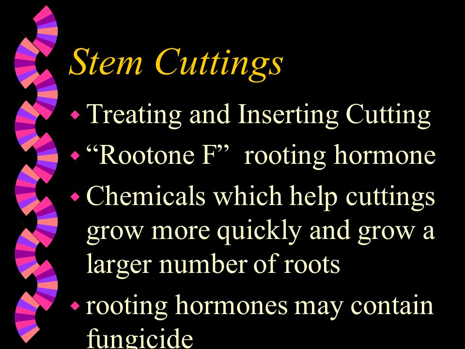Stem Cuttings Treating and Inserting Cutting