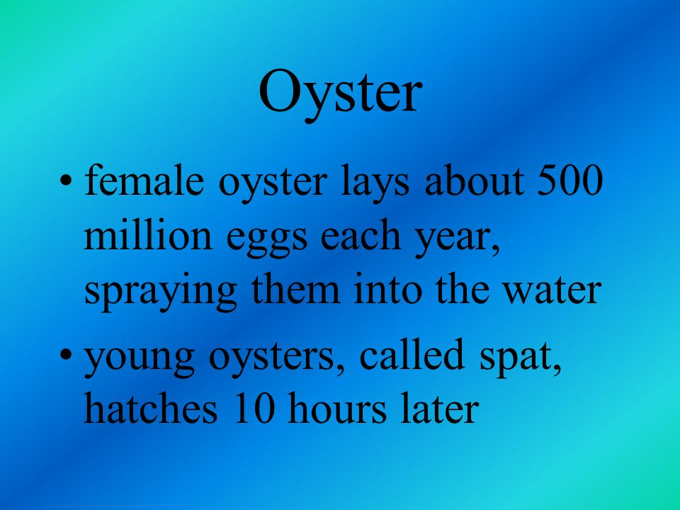 Oyster female oyster lays about 500 million eggs each year, spraying them into the water.