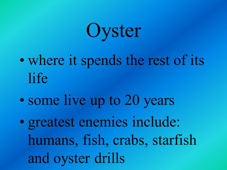 Oyster where it spends the rest of its life some live up to 20 years