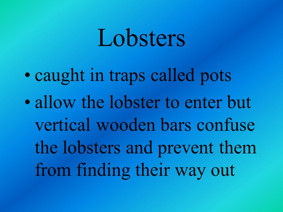Lobsters caught in traps called pots
