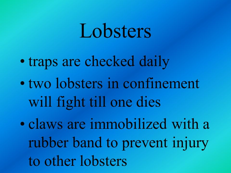 Lobsters traps are checked daily