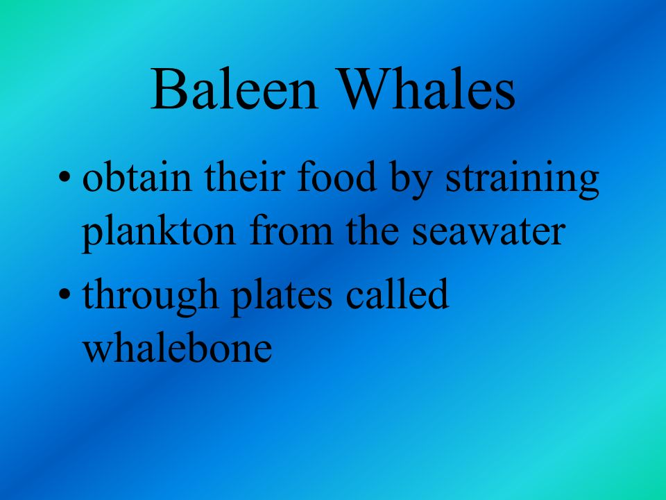 Baleen Whales obtain their food by straining plankton from the seawater.