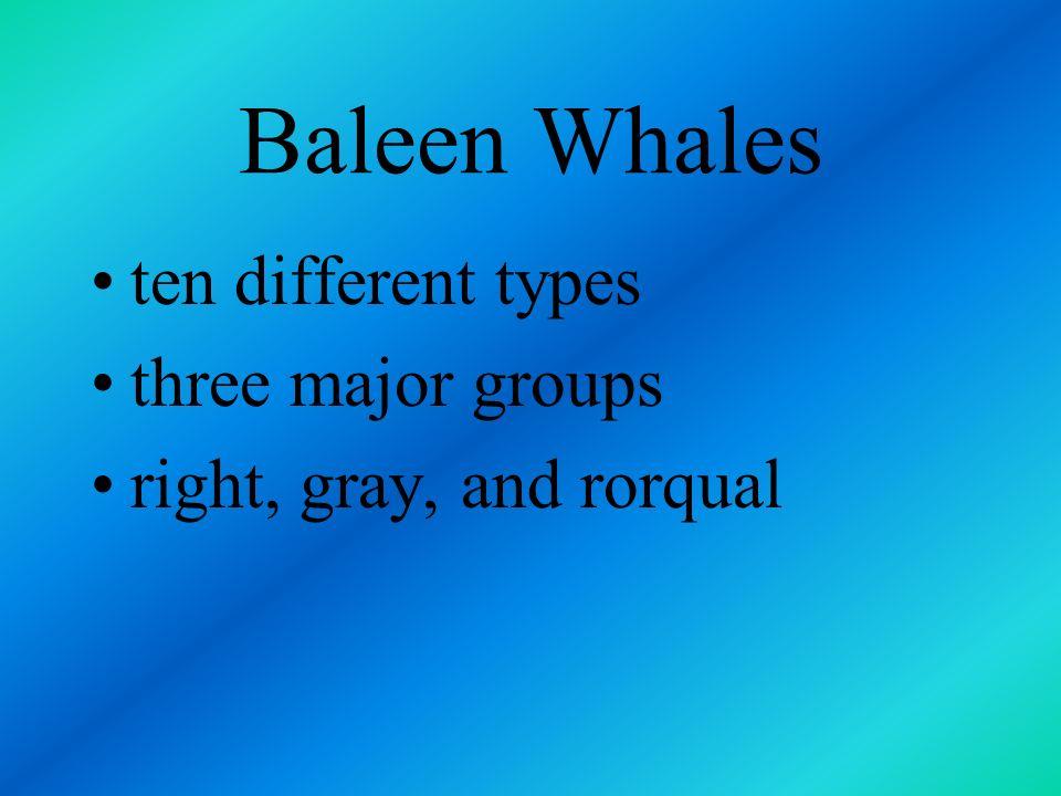 Baleen Whales ten different types three major groups