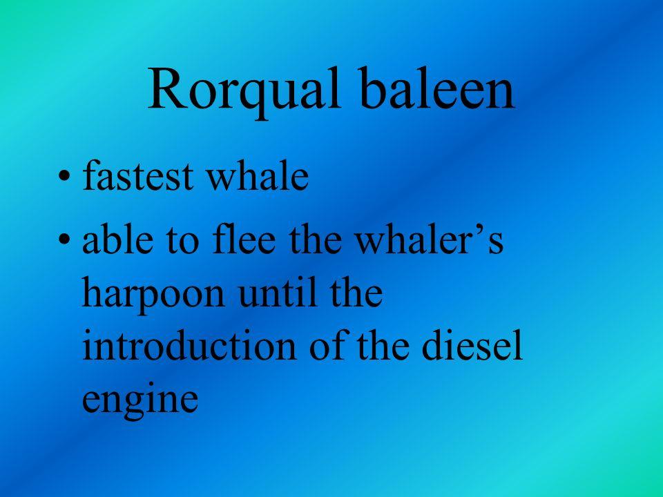 Rorqual baleen fastest whale